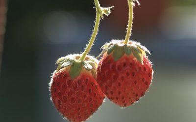 Wie man Erdbeeren auf Beton anbaut